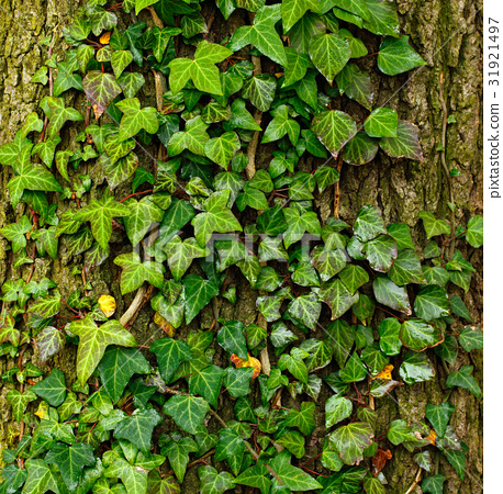 Beautiful green ivy climbing up huge tree trunk 31921497