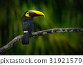 Big beak bird Chesnut-mandibled Toucan 31921579