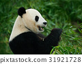 Portrait of Giant Panda feeding bamboo tree 31921728