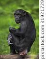 Black mankey Chimpanzee, Pan troglodytes 31921729