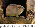 Rock Hyrax, Procavia capensis, South Africa 31921783