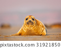 Grey Seal, morning sun in the sand beach 31921850