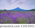라벤더, 꽃, 플라워 31923041