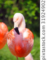flamingo, flamingoes, flamingos 31924902