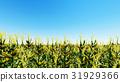 blue corn field 31929366