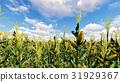 corn field sky 31929367