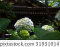 ไฮเดรนเยียในวัด Myokuraji ในเมืองคาวาซากิ 31931014