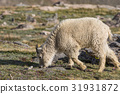mountain goat animal 31931872