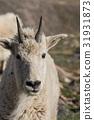 mountain goat animal 31931873