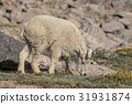 mountain goat animal 31931874