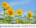 向日葵 太陽花 花朵 31937212