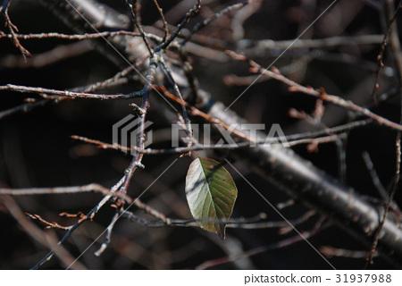 枯枝上的一片葉子 31937988