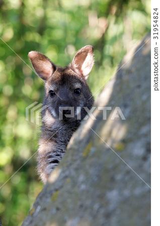 Red-necked Wallaby kangaroo baby 31954824
