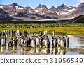 King Penguins on Salisbury plains 31956549