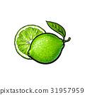 lime sketch vector 31957959