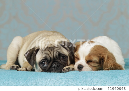 pug and spaniel puppy 31960048