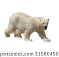 Polar Bear Watercolor 31960450