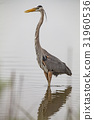 Great Blue Heron in a natural landscape 31960536