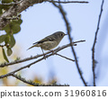 Ruby crowned Kinglet bird in a natural landscape 31960816