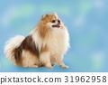 Pomeranian dog 31962958