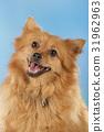 Pomeranian dog 31962963