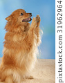 Pomeranian dog 31962964