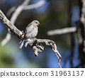 Western Bluebird perching bird in tree 31963137