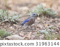 Western Bluebird perching bird on ground 31963144