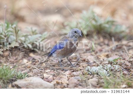Western Bluebird perching bird on ground 31963144