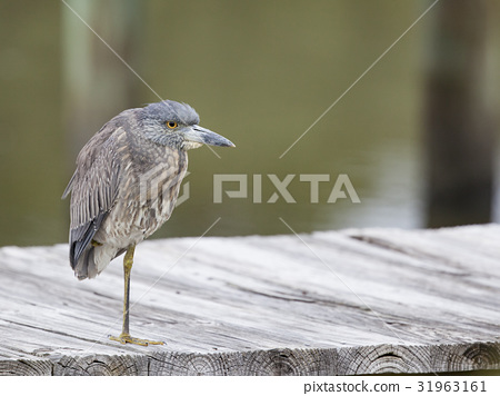 Yellow crowned Night Heron in a natural landscape 31963161