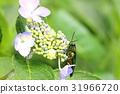 hydrangea, buprestidae, jewel beetles 31966720