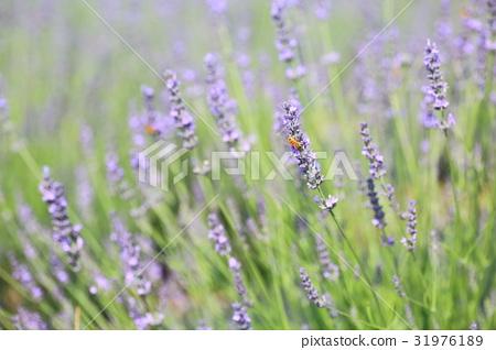Lavender flowers 31976189