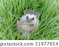 Hedgehog in the green grass,African pygmy hedgehog 31977654
