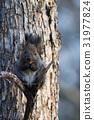 松鼠 日本北海道松鼠 松鼠常見的東 31977824
