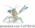 Yabbie Crayfish in fighting position 31978316