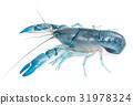 Blue crayfish cherax destructor,Yabbie Crayfish 31978324