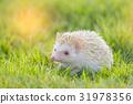 Hedgehog in the green meadow 31978356