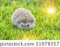 Hedgehog in the green meadow , pygmy hedgehog 31978357