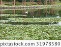 睡莲和天鹅在冈崎市南公园 31978580