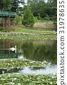 睡莲和天鹅在冈崎市南公园 31978635