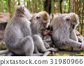 Macaque monkeys with cubs at Monkey Forest, Bali 31980966