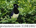 Nice bird with dark head Plush crested Jay 31981882