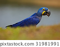 blue, macaw, parrot 31981991