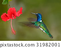 Hummingbird White-necked Jacobin, Florisuga 31982001