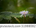 water, lily, lotu 31988082