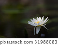 water, lily, lotu 31988083