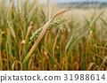 field wheat yellow 31988614