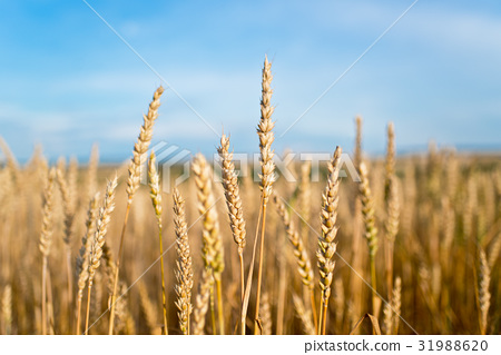 Detail of Wheat Field Before the Harvest. 31988620