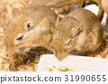 Gerbil or called desert rats 31990655