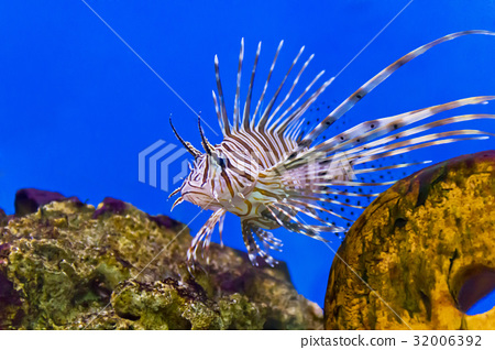 One large pterois volitans fish in blue salt water 32006392